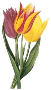 180 tulips_sm