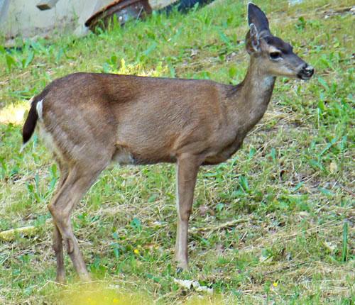 deer2_smb
