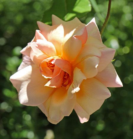 Sunday in the garden perfume in progress for Rosa coburg
