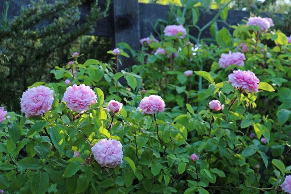 more garden photos perfume in progress. Black Bedroom Furniture Sets. Home Design Ideas