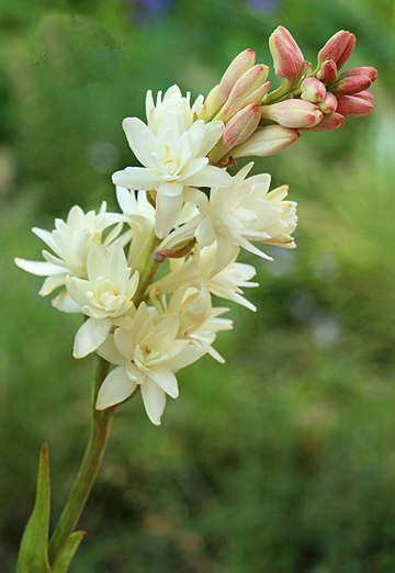 0369 tuberose smaller