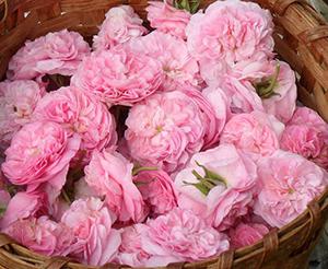 Rose blossoms, ©DR