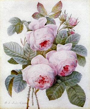 pinkredoute