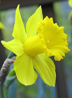daffodil1sm