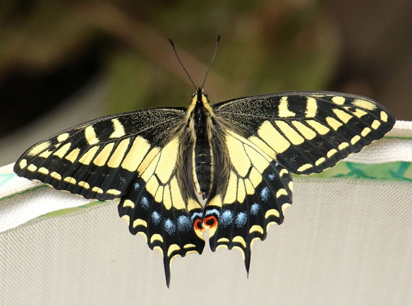 swallowtail_med