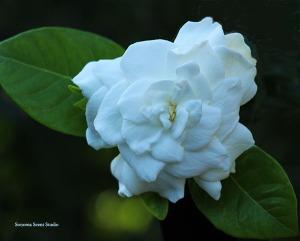 gardenia_smaller