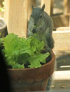 squirrel_sm