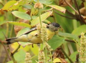 bird_hyssop_1