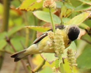 bird_hyssop_2