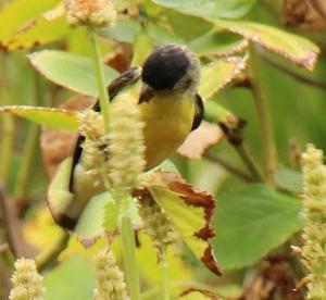 bird_hyssop_3