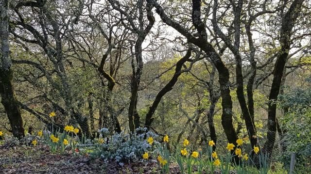 trees&daffys_sm.jpg