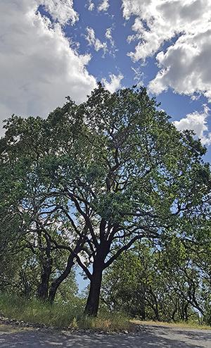 oak_plus_sky_smallest