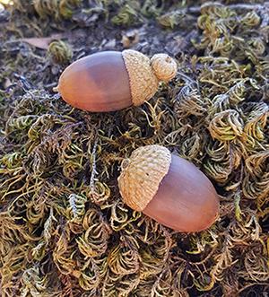 acorns_1sm2