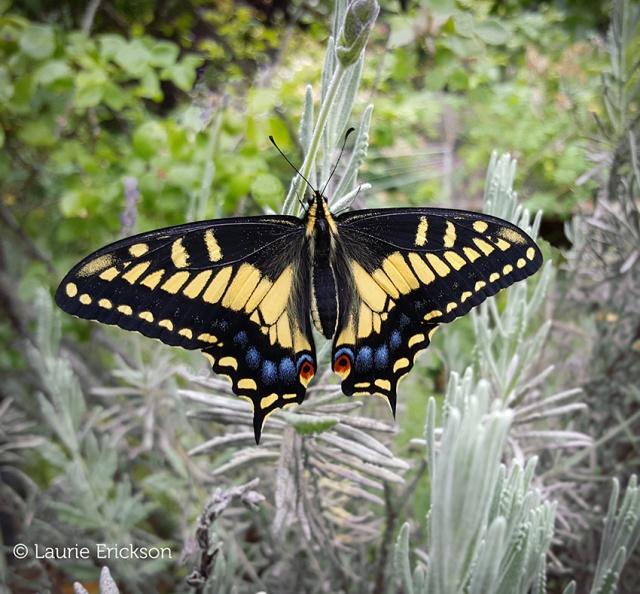 anise_swallowtail_sm.jpg
