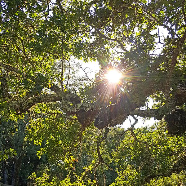 oaks_light_4sm
